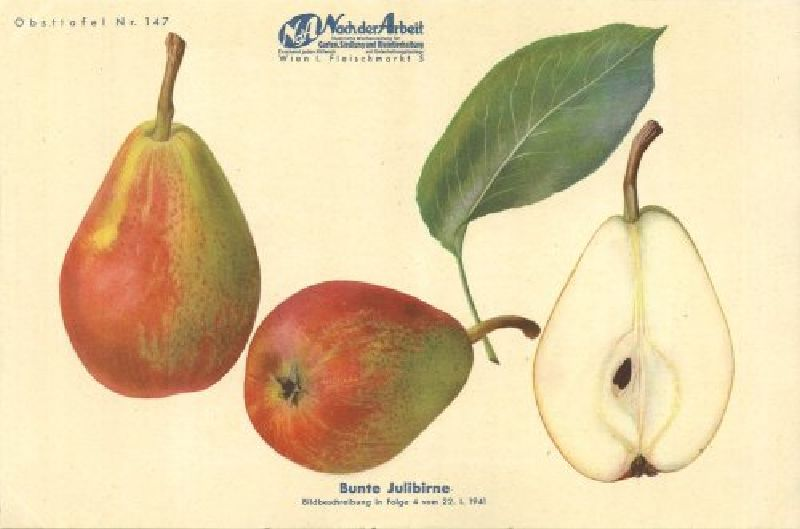 Birnbaum Bunte Julibirne
