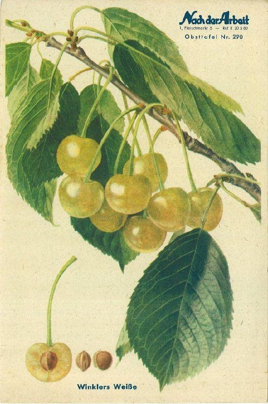 Süßkirsche Winklers Weiße