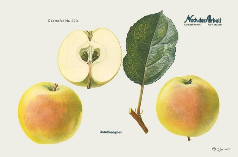 Apfelbaum Batullenapfel