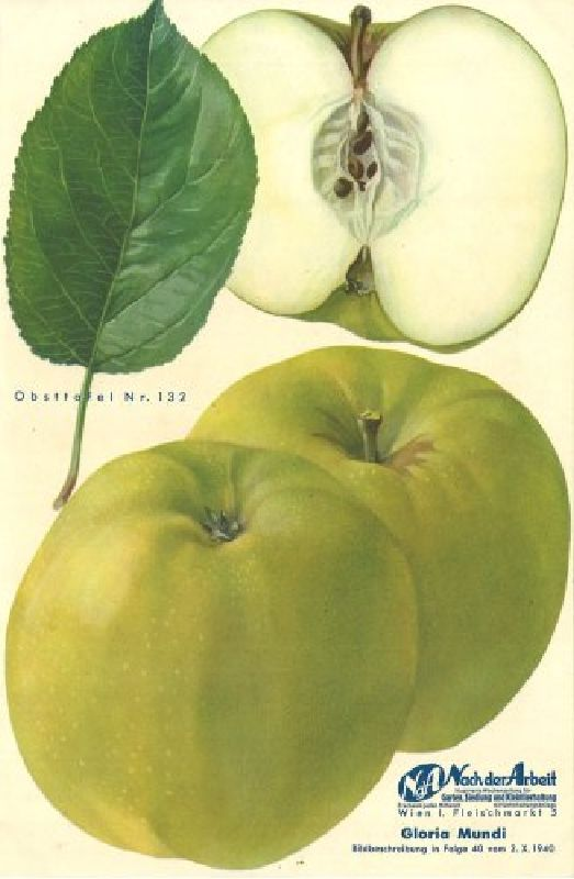 Apfelbaum Gloria Mundi