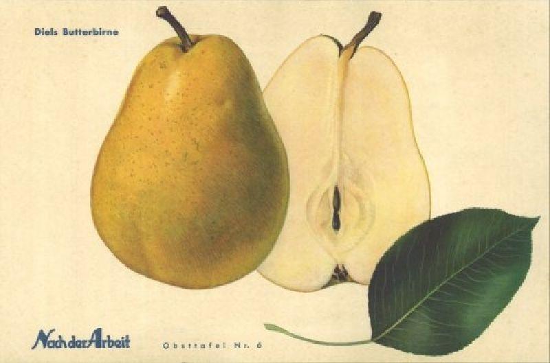 Birnbaum Diels Butterbirne