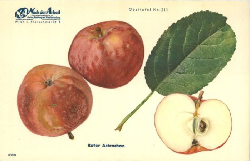 Apfelbaum Roter Astrachan