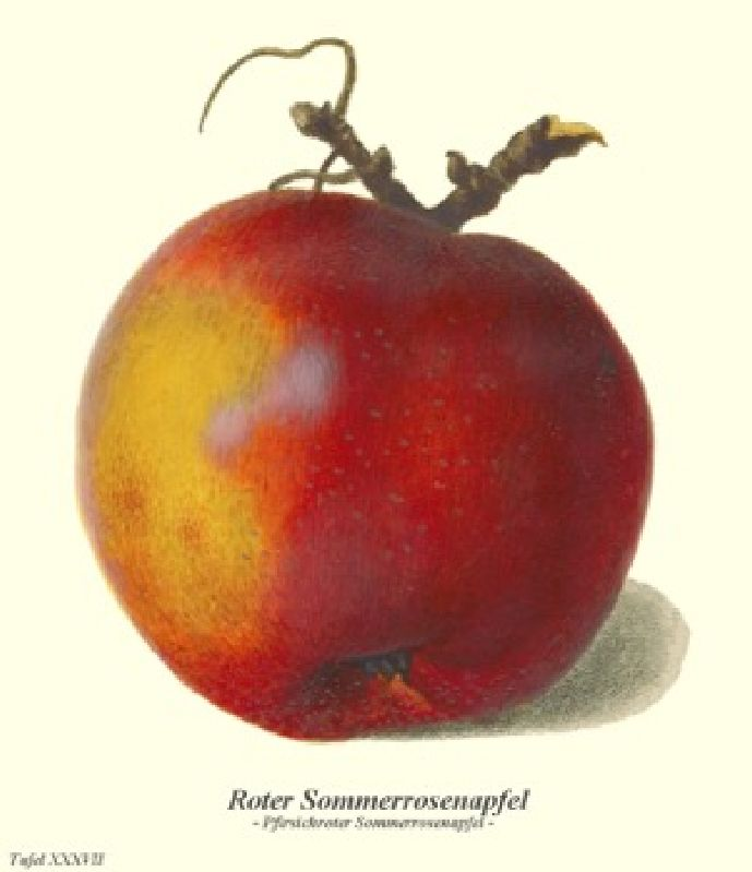 Apfelbaum Pfirsichroter Sommerapfel