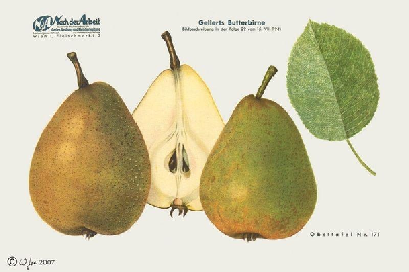 Birnbaum Gellerts Butterbirne