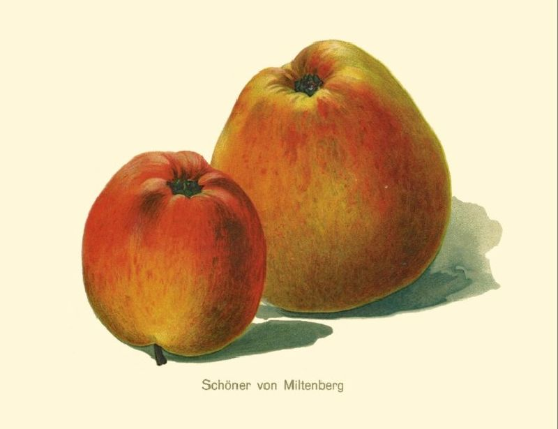 Apfelbaum Schöner aus Miltenberg
