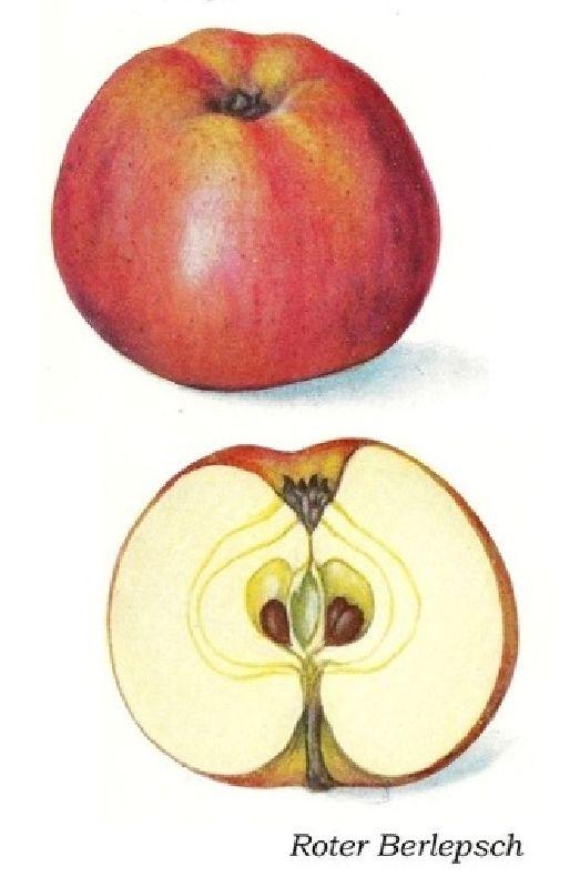 Apfelbaum Roter Berlepsch