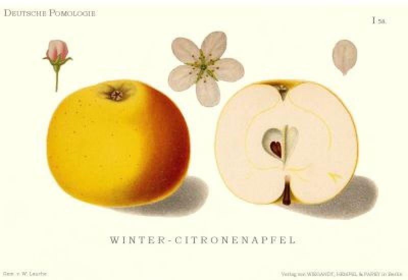 Apfelbaum Winterzitronenapfel