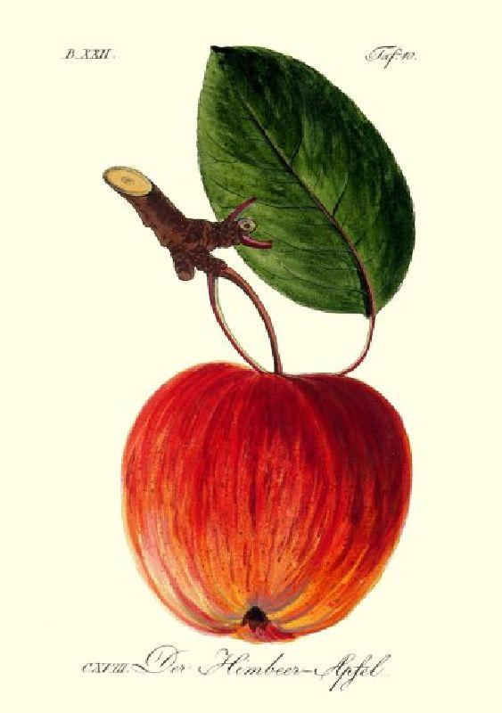 Apfelbaum Winterhimbeerapfel