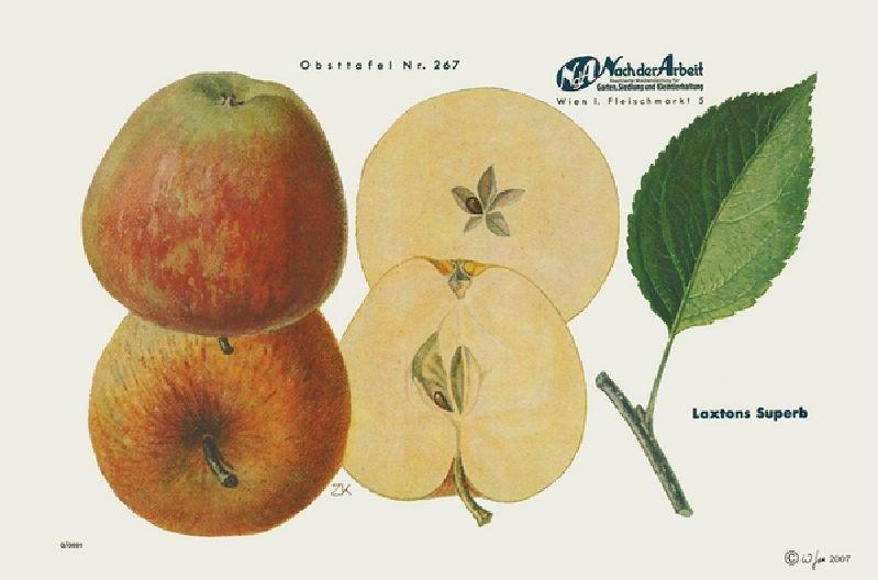 Apfelbaum Laxtons Superb