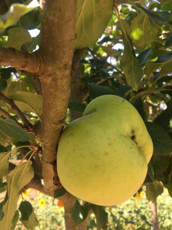 Apfelbaum Grahams Jubiläumsapfel