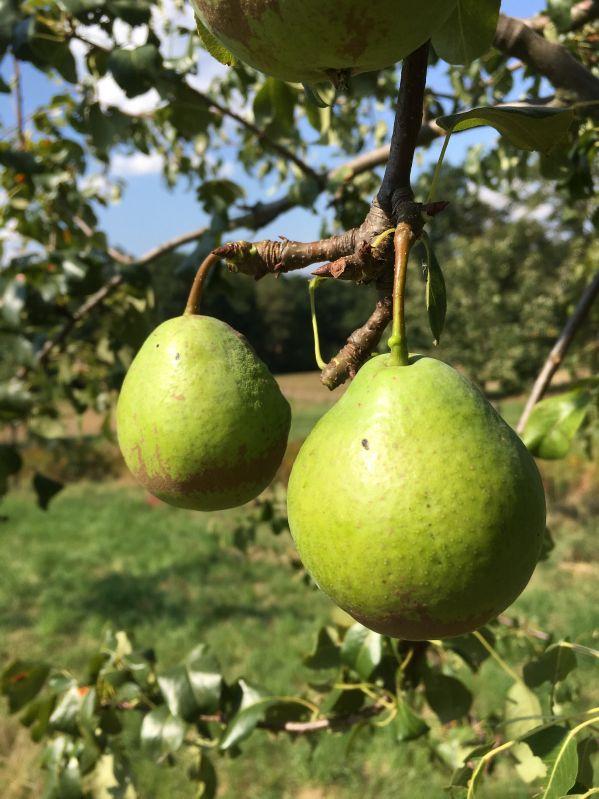 Birnbaum Giffards Butterbirne