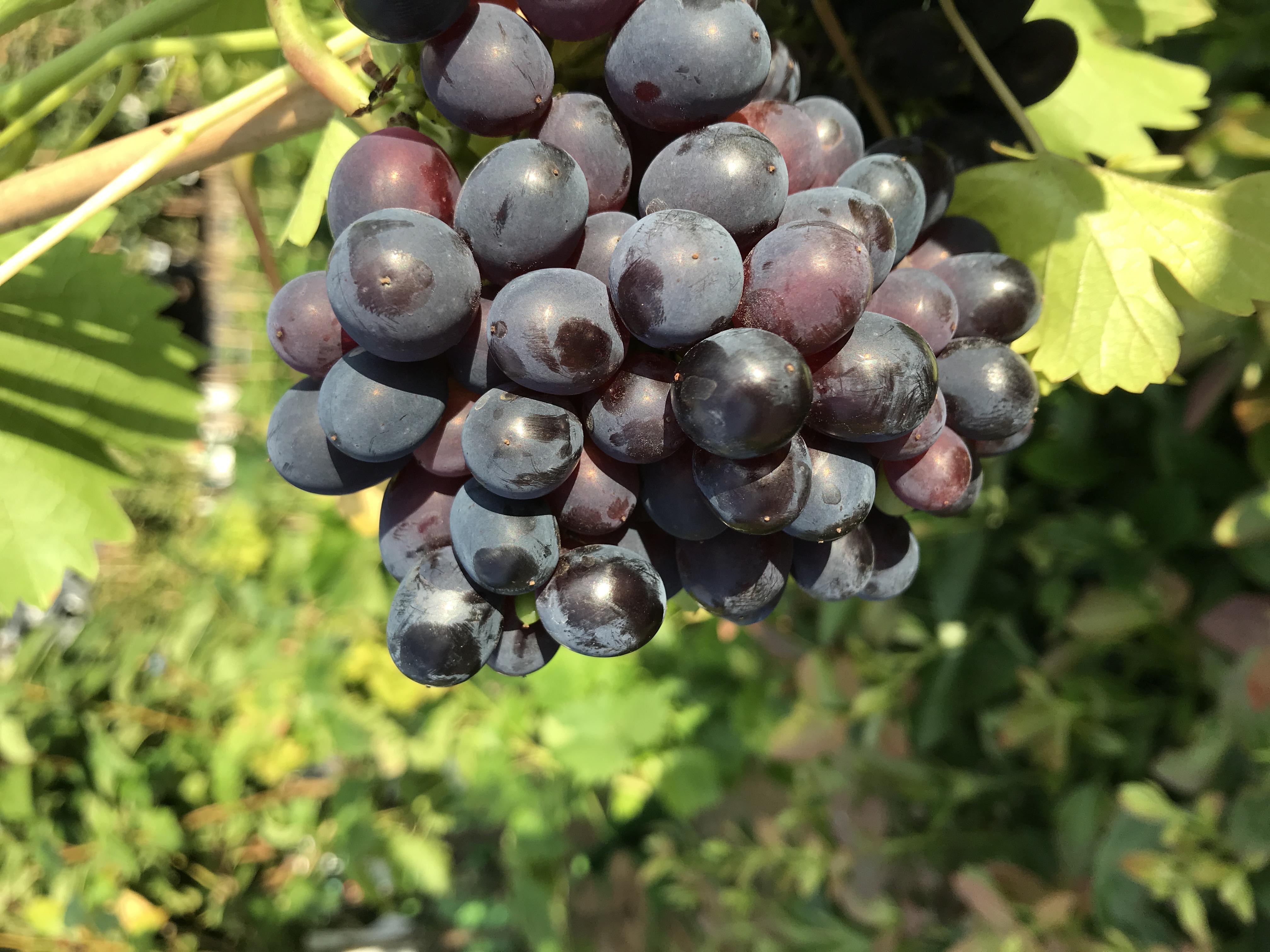 Weintraube Regent