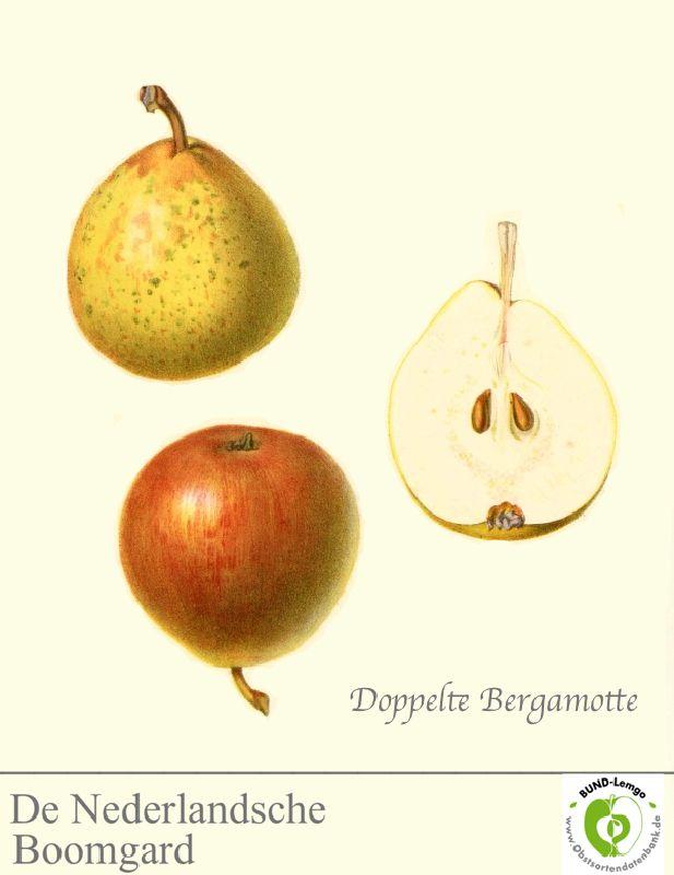 Birnbaum Doppelte Bergamotte