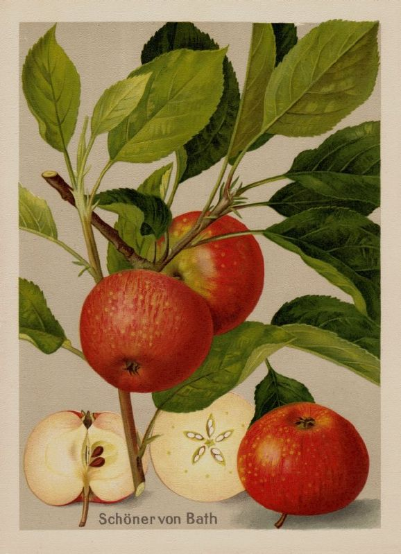 Apfelbaum Schöner aus Bath