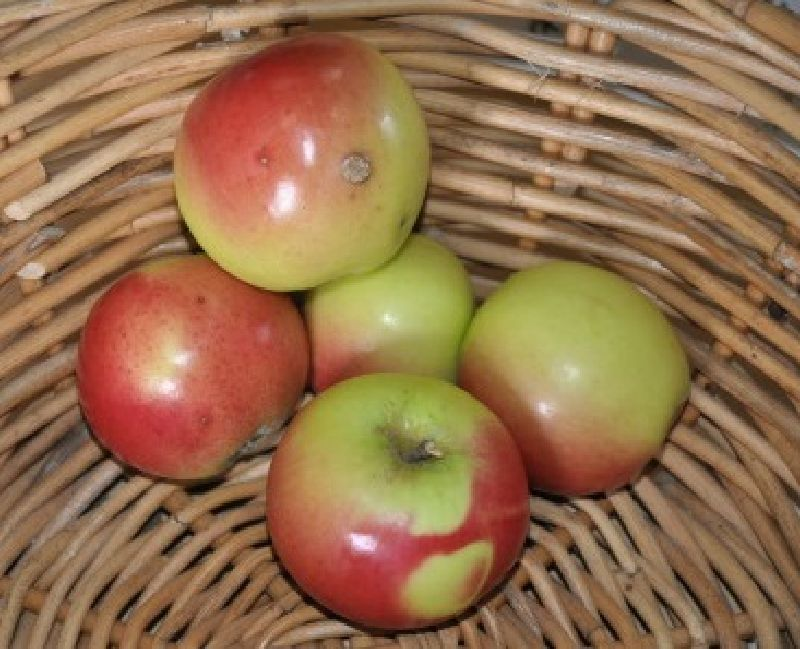 Apfelbaum Kronprinz Graz