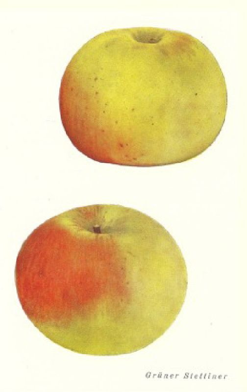 Apfelbaum Grüner Stettiner