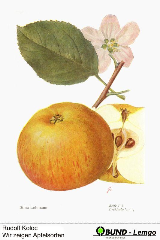 Apfelbaum Stina Lohmann