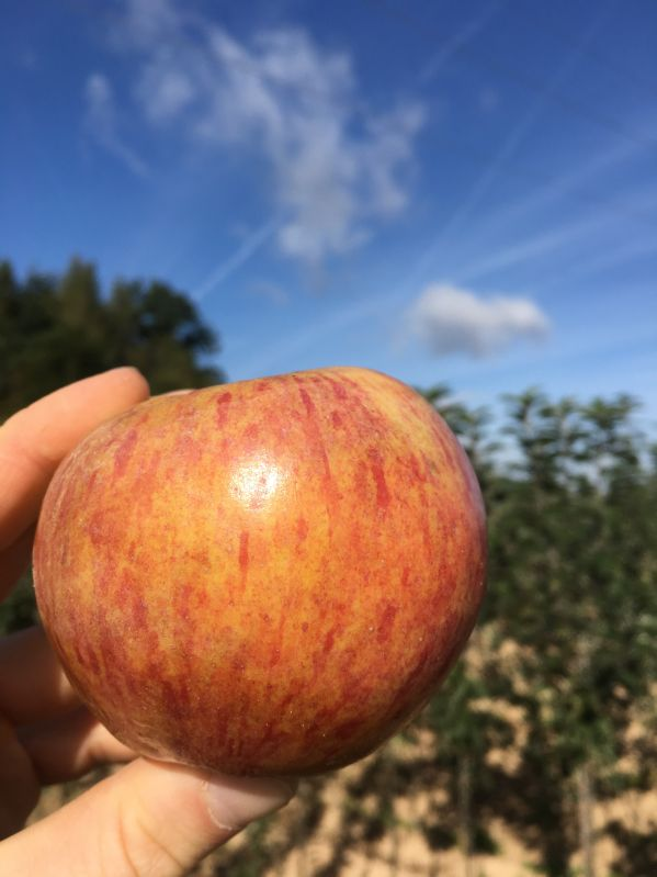 Apfelbaum Fiessers Erstling