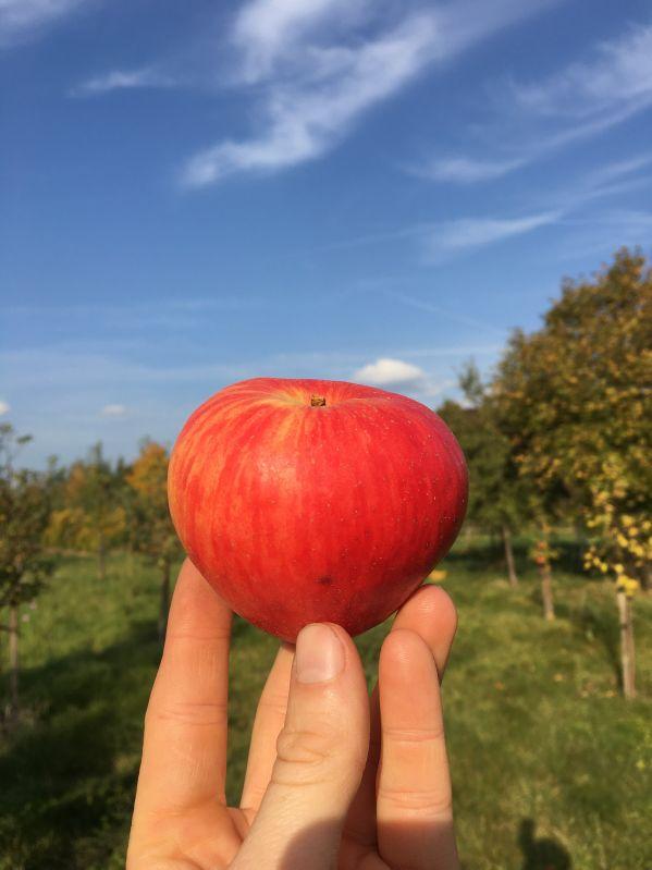 Apfelbaum Körler Edelapfel