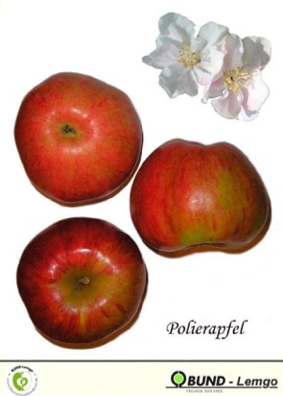 Apfelbaum Polierapfel