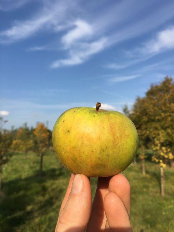 Apfelbaum Uelzener Kalvill