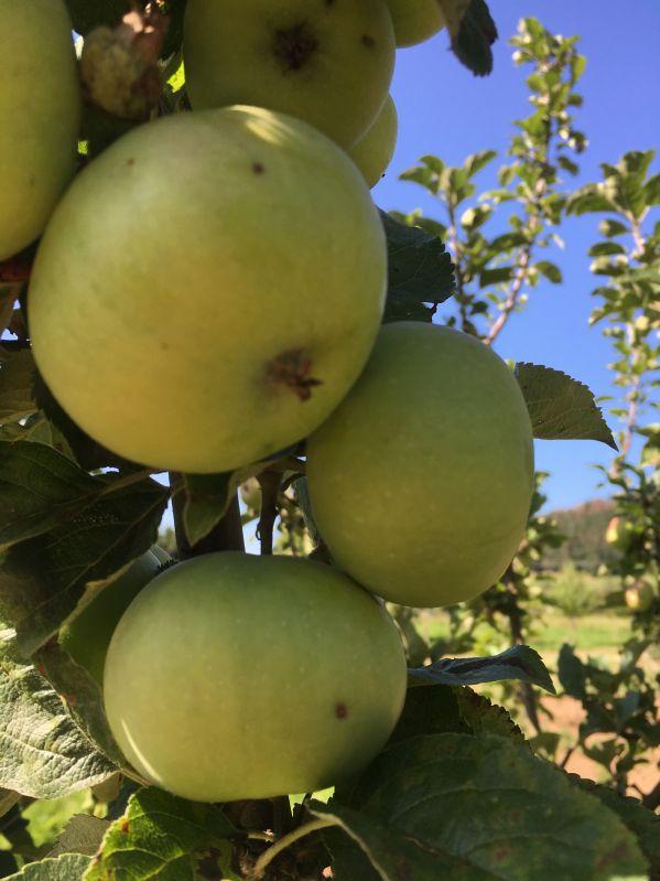 Apfelbaum Champagner Renette