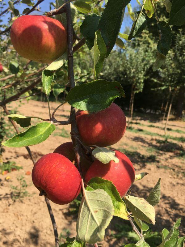 Apfelbaum Ingrid Marie