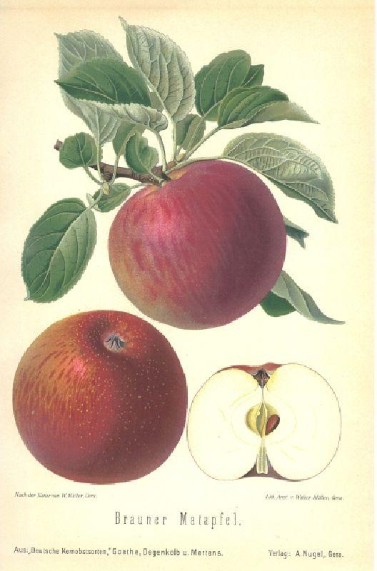 Apfelbaum Brauner Matapfel