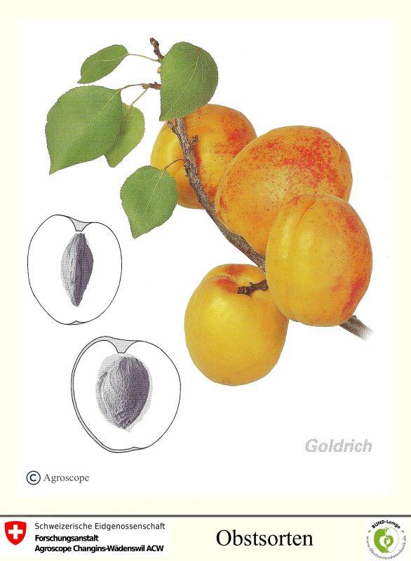 Aprikose Goldrich