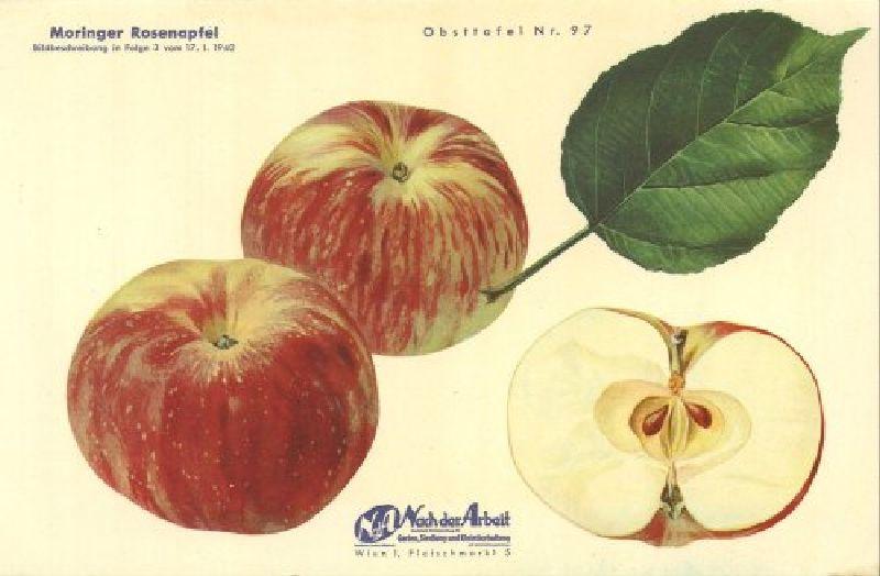 Apfelbaum Moringer Rosenapfel