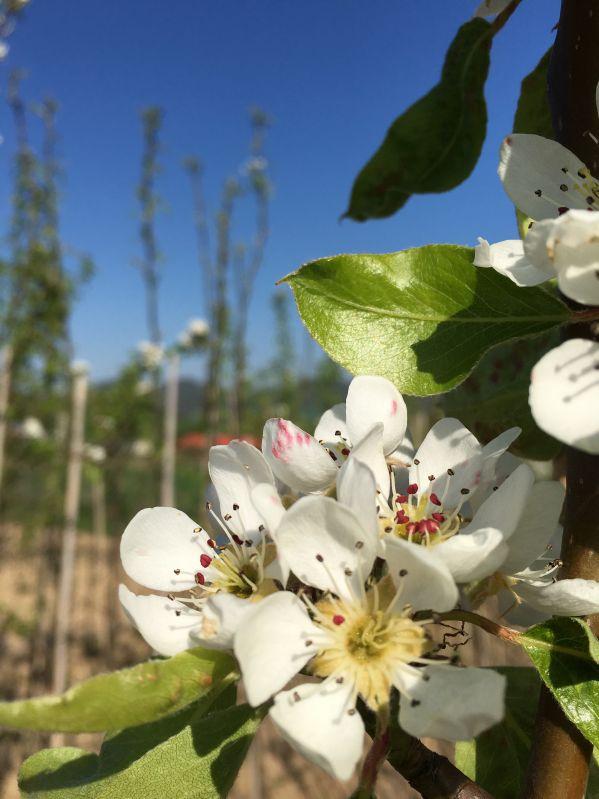 Birnbaum Clairgeau's Butterbirne