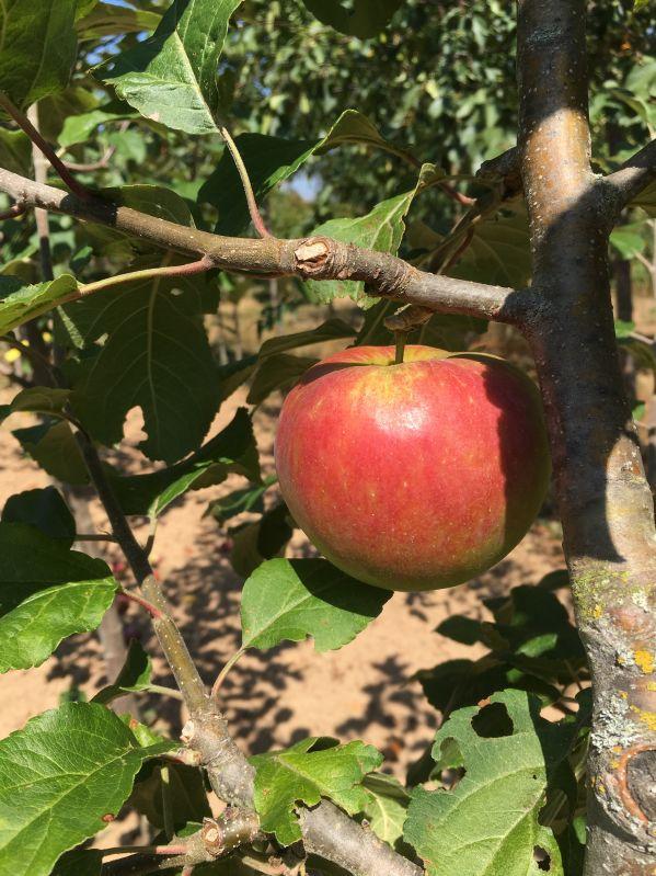 Apfelbaum Rubinette