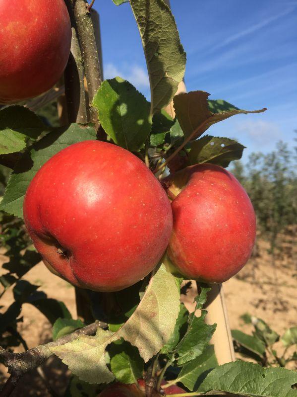 Apfelbaum Red Topaz