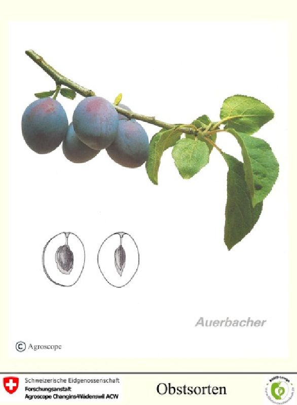 Zwetsche Auerbacher