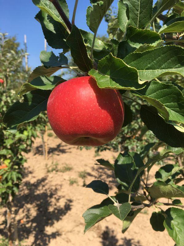 Apfelbaum Santana