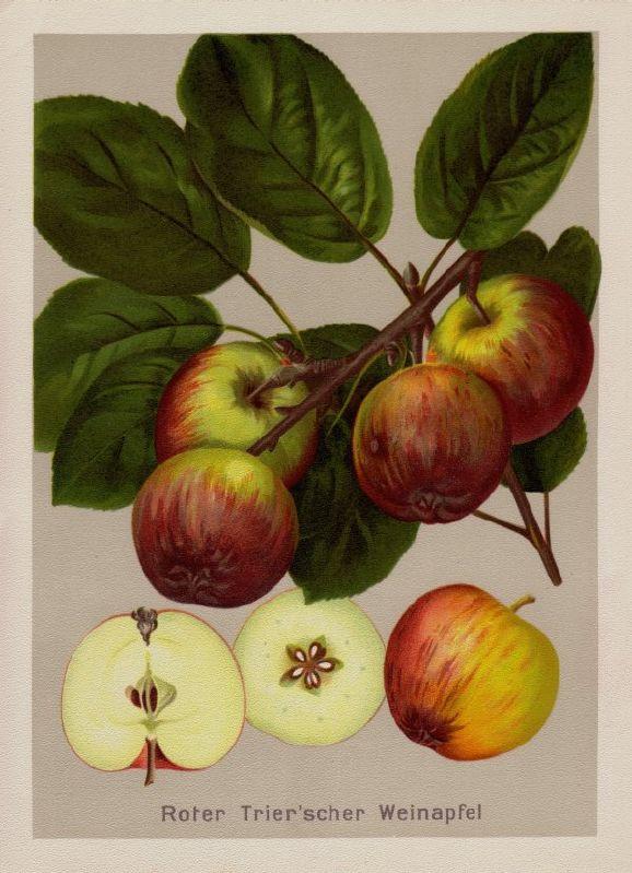 Apfelbaum Roter Trierer Weinapfel