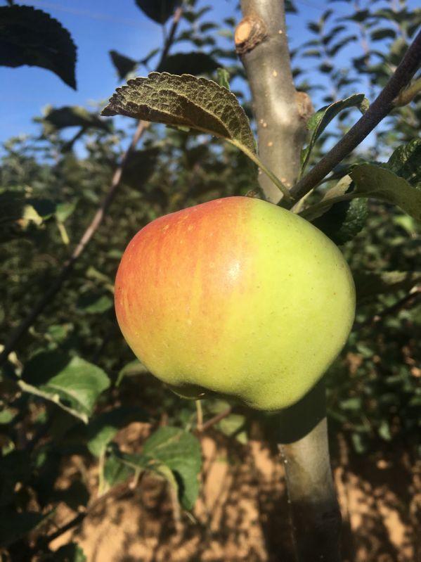 Apfelbaum Boikenapfel