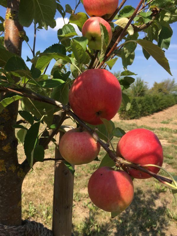 Apfelbaum Reka