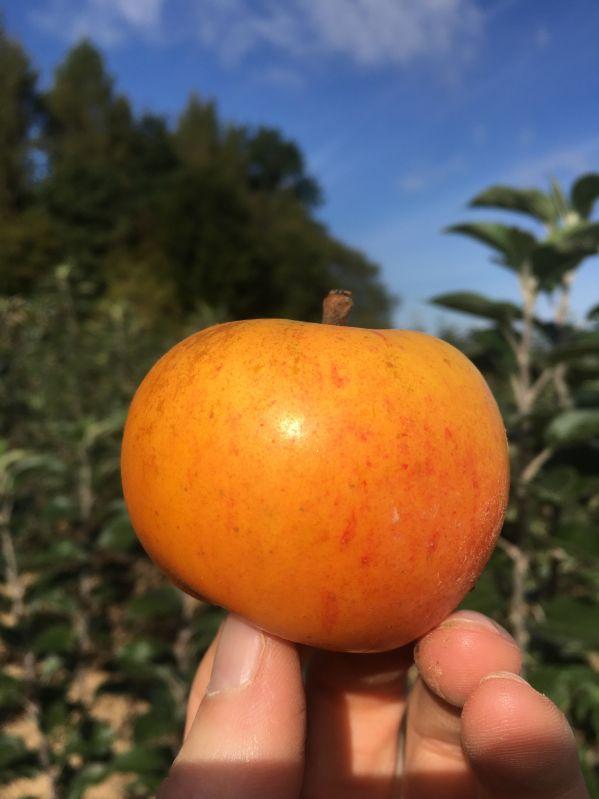 Apfelbaum Goldparmäne