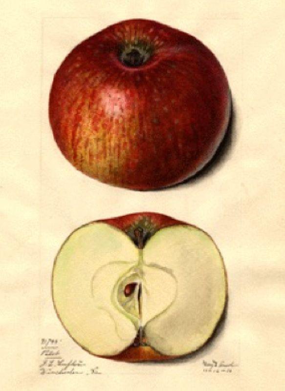 Apfelbaum Pilot