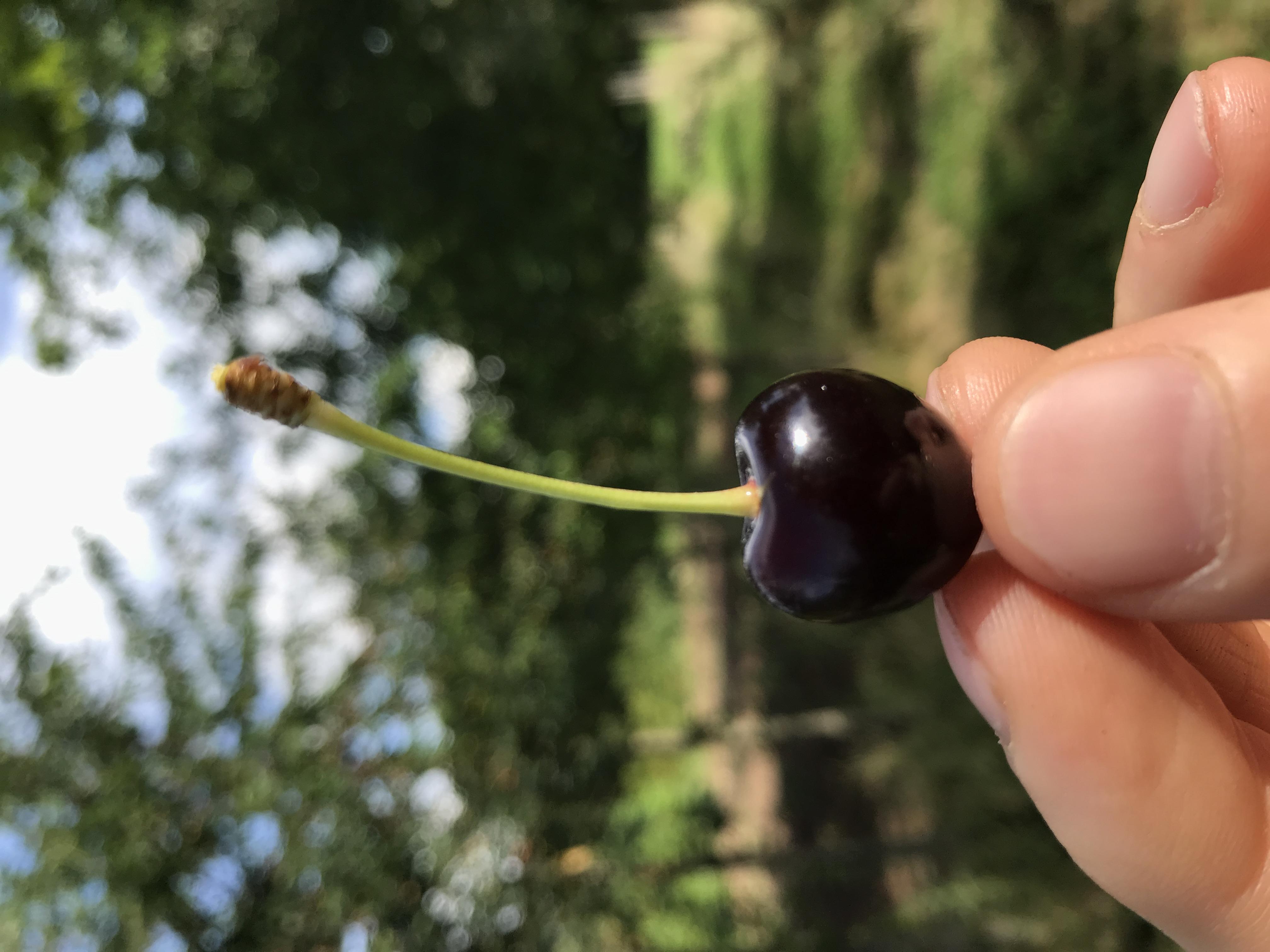 Süßkirsche Kesterter Schwarze