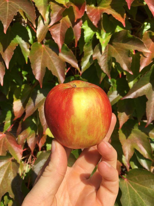 Apfelbaum Schöner aus Herrnhut