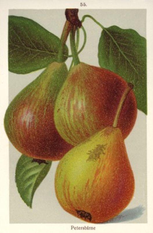 Birnbaum Petersbirne