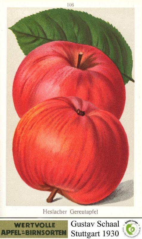 Apfelbaum Heslacher Gereutapfel