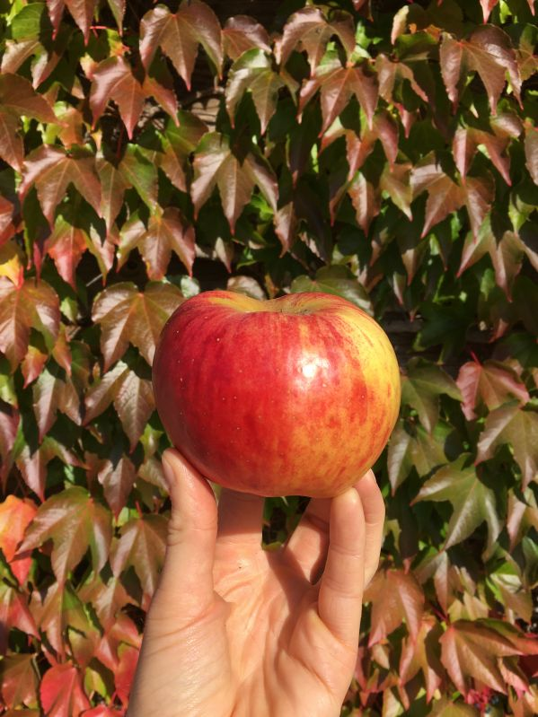 Apfelbaum Martens Sämling