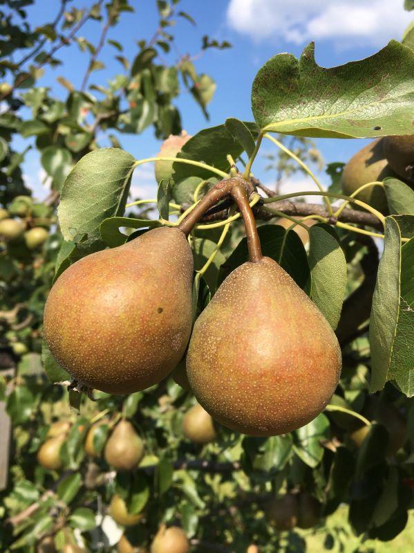 Birnbaum Nägelesbirne