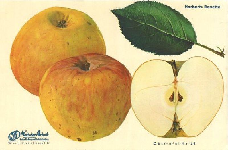 Apfelbaum Harberts Renette
