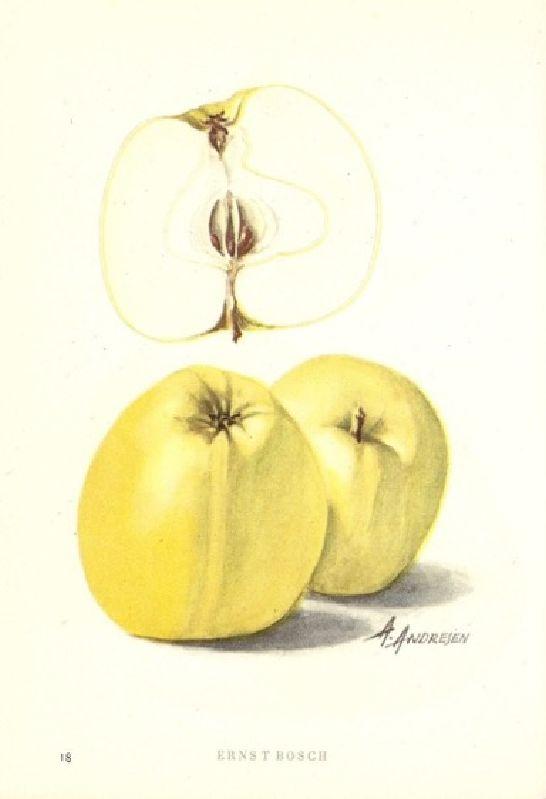 Apfelbaum Ernst Bosch