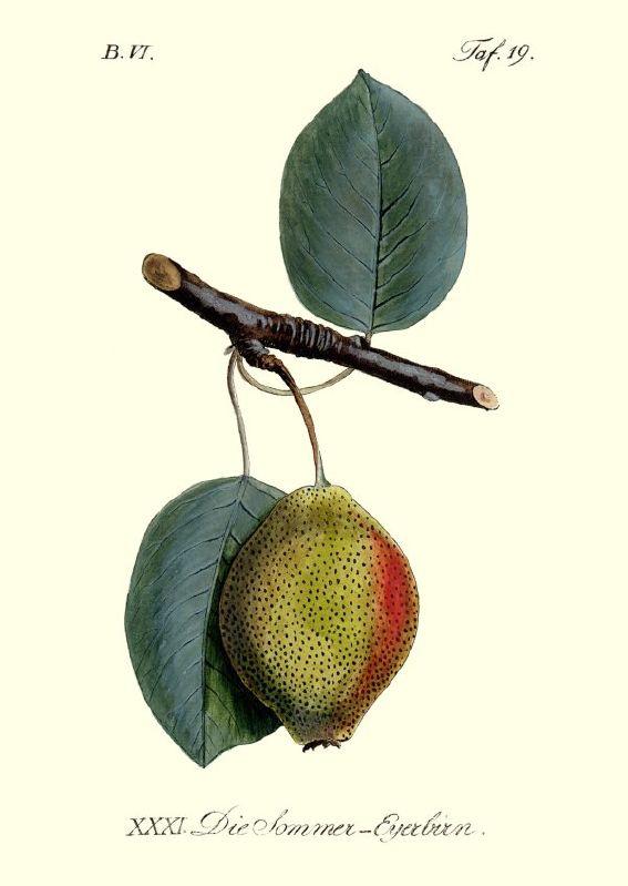 Birnbaum Sommer-Eierbirne