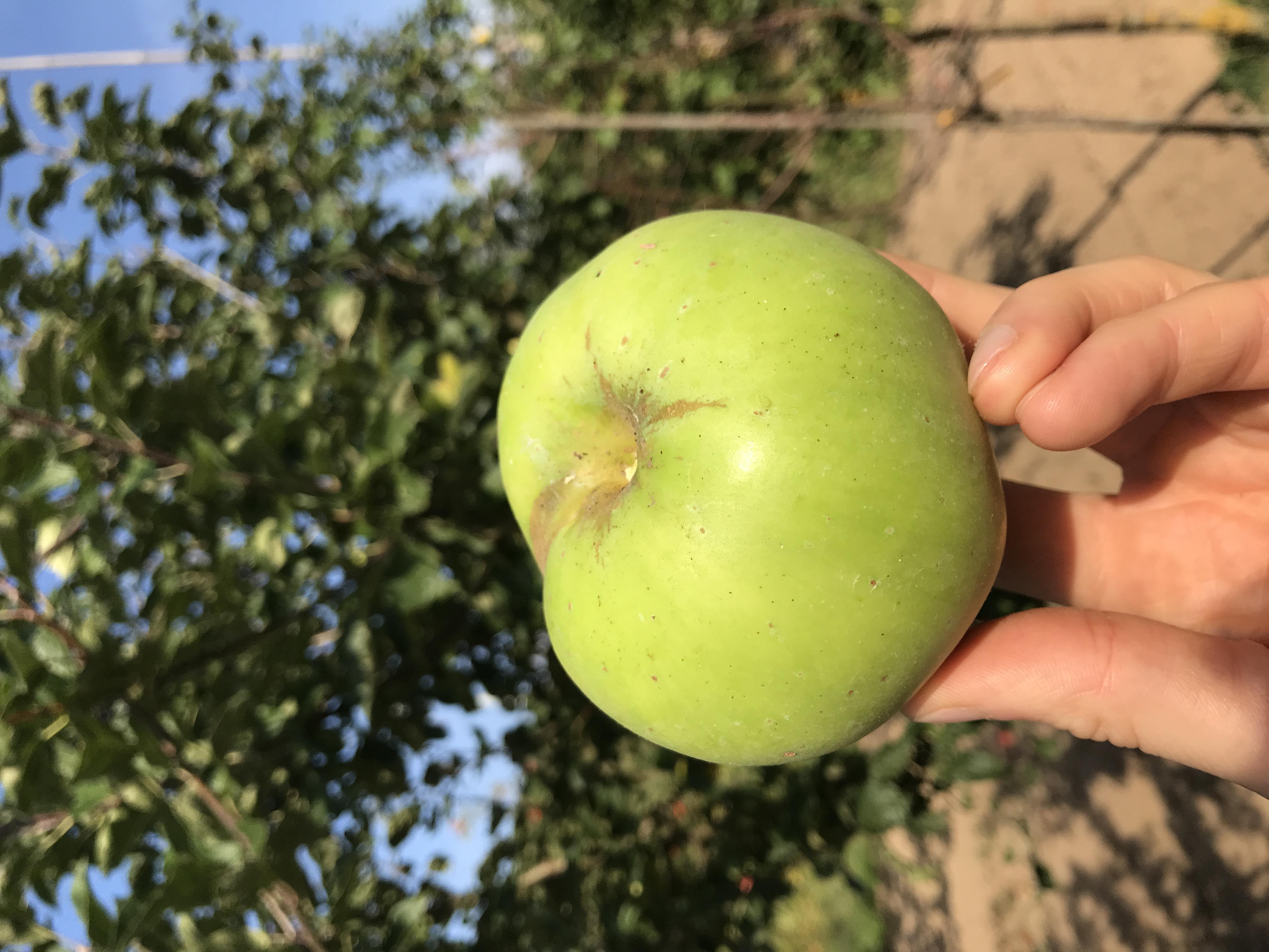 Apfelbaum Süßapfel aus Dorla